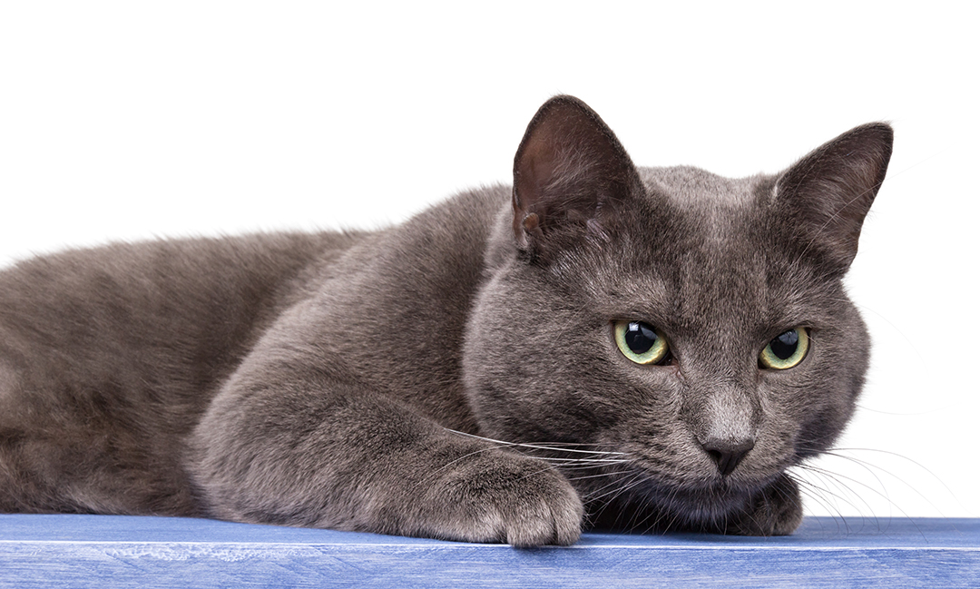 145 Russian Cat Names That You Will Love - suggesname com